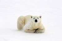 Polar bear Ursus maritimus Lying down along Hudson Bay coastline