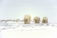 Polar bear Ursus maritimus Mother and first-year cubs