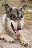 Grey Wolf Canis lupus Indiana, USA