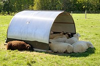 Baa Baa black sheep  Gale Woods Farm Minnetrista Minnesota USA