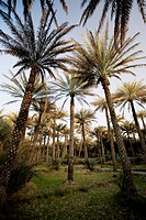 United Arab Emirates, Al Ain, Date Palm Trees at Wadi Al Ain Al Ain Oasis