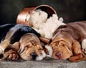 Two Bloodhound puppies