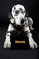 Adult male Dalmatian with biscuit