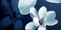 Close up of white Magnolia flowers
