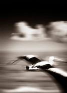 Australian Pelican Pelecanus conspicillatus in flight