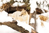 Fox in winter habitat