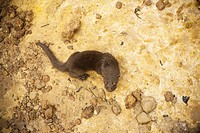 Nestling of Otter, Santo Elias Community, Negro River, Novo Airão, Amazonas, Brazil