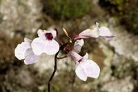 Inflorescence of a Exemplary of Orchid Rupestre, Boa Nova, Bahia, Brazil