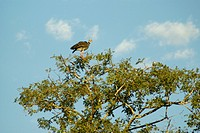 Tachã, Southern Screamer, Chauna torquata, Pantanal, Mato Grosso do Sul, Brazil