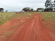 Sheep, Bonito, Mato Grosso do Sul, Brazil