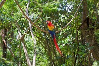 Scarlet Macaw, Roatan, Bay Islands, Honduras