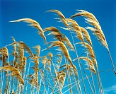 wild grasses bending in the wind against bright blue sky