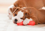 Continental Bulldog _ puppy lying _ chewing at toy restrictions: magazines till 09/09