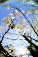 Cherry flowers on branch, close up, fish_eye lens