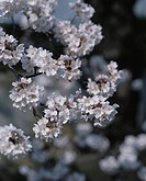 Cherry flowers on branch, close up, Yokohama city, Kanagawa prefecture, Japan