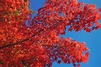 Red autumnal leaves