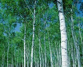 Fresh green of white birch woods