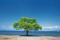 A tree on the beach, Shiga Prefecture, Japan