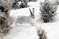 Whitetail Jackrabbit, Lepus townsendii, rabbit, winter, snow, moving, running, hobble, grass, landscape, animal, nature
