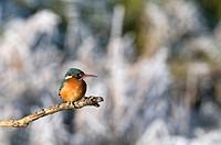 Kingfisher, Alcedo atthis, portrait, branch, sitting, background blurred, bird, birds, animal, nature, winter