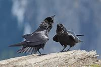 Common raven (Corvus corax) courtship
