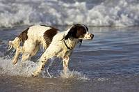 springer spaniel dog playing in water on the beach white rocks beach portrush county antrim, northern ireland