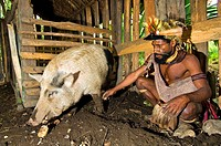Papua New Guinea, Southern Highlands Province, Hulis Tribe, region of Tari, village of Kobe Dumbiali, Titsa feeds a pig sweet potatoes