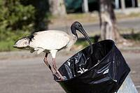 a Sacred Ibis scavenging for food in a rubbish bin