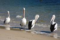 a group of four Australian Pelicans, Pelecanus, conspicillatus, at the waters edge  Two of the birds are preening their feathers  Nelson Bay, Port Ste...