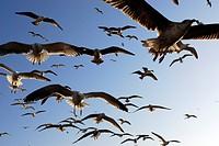 Morocco, Essaouira, seagulls