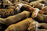 France, Aveyron, Laissac, sheep herd at the cattle market