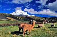 Ecuador, Chimborazo province, Ecuadorian Andes, llamas, sheep and cultivated fields mosaic and farm on the slopes of Chimborazo volcano 6310 m