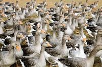 France, Dordogne, Perigord Noir, geese breeding