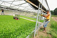 two workers operate a machine to trim the leaves of young tobacco plant in a nursery  sant'agata dei goti  province of benevento  campania  italy  eur...