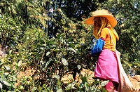 China, Yunnan province, Xishuangbanna region, Menghun, tea plantation