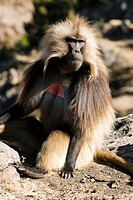 Ethiopia, Simien Mountains National Park, listed as World Heritage by UNESCO, the Gelada baboon, endemic case