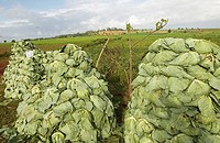 Myanmar Burma, Shan State, Kalaw, cabbage harvest
