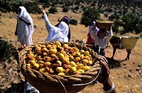 Morocco, Souss Massa Draa Region, Ait Baha, picking argan