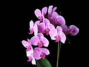 Pink Phalaenopsis Orchids