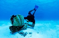 Cook Islands, Atutaki Island, Maina submarine farm, Richard Henry diver paticipates to preservation programme of giant clams