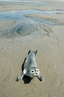 Abandoned seal pup  Common seal baby Phoca vitulina on the beach of island Spiekeroog  North Sea  Germany