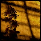 A blood_red orchid against a cracked, golden stucco wall catches the setting sun