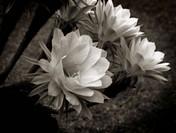 Blooming Cactaceae Echinopsis multiplex