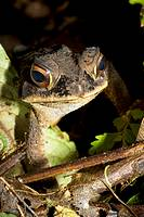 Toad peering through the leaf litter  Photographed in Costa Rica