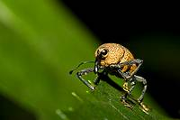 Yellow weevil, order Coleoptera, family Curculionidae  Photographed in the mountains of Costa Rica