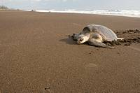Female olive ridley sea turtle, Lepidochelys olivacea, climbing onto land to lay her eggs, Costa Rica