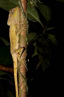 A casque-headed lizard, Corytophanes cristatus, perched on a branch  Photographed in Costa Rica
