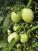 Green Tomatoes on a plant, Lycopersicon esculentum