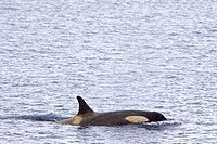 A small pod of about 12 Type B Orca Orcinus nanus encountered at 64° 55S 63° 16W in Southern Gerlache Strait near the western side of the Antarctic Pe...