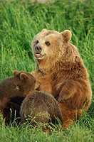 Female Brown Bear Ursus Arctos nurses her cubs